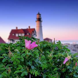 Daniel Trickett - Beach Roses at Portland Head