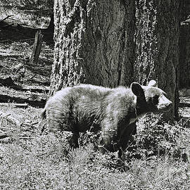 Debby Pueschel - Bear Cub at Trail of 100 Trees