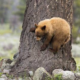 Mike Cavaroc - Bear Cub on Tree