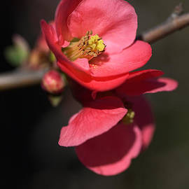 Joy Watson - Beautiful And Rich Flowering Quince