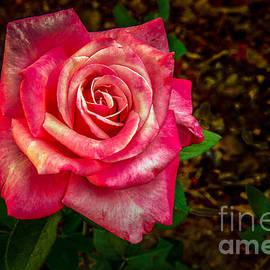 Beautiful Bicolor Rose by Robert Bales