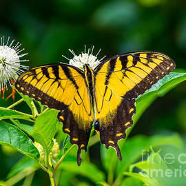 Beautiful Butterfly by Stephen Whalen