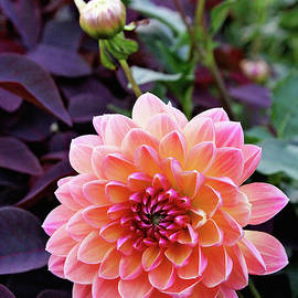 Trina Ansel - Beautiful Dahlia