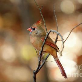 Darren Fisher - Beautiful Female Cardinal