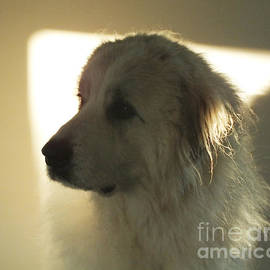 Beautiful Female Pyrenean Mountain Dog in Shadowy Repose by Murray Webb
