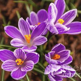Anna Matveeva - Beautiful lilac crocuses on a spring sunny day