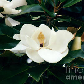 Beautiful Magnolia  by Ruth  Housley