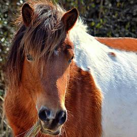 Beautiful Mare Ms. Macky by Assateague Pony Photography