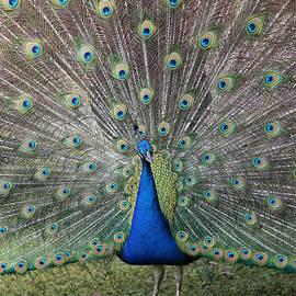 Beautiful Peacock by Carol Groenen