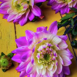 Beautiful Pink Dahlias - Garry Gay