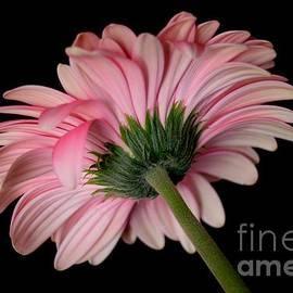 Jeannie Rhode - Beautiful Pink Lady