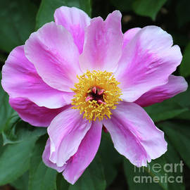 Carol Groenen - Beautiful Pink Peony