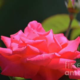 Ruth Housley - Beautiful Pink Rose 2