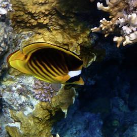 Johanna Hurmerinta - Beautiful Raccoon Butterflyfish