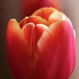 Valdis Veinbergs - Beautiful red and yellow tulips 1