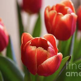 Valdis Veinbergs - Beautiful red and yellow tulips 2