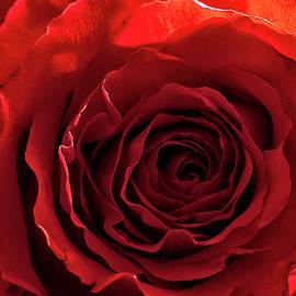 Bill Mehaffey - Beautiful Red Rose