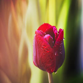 Vishwanath Bhat - Beautiful red tulip with dew drops and natural bokeh