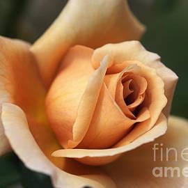 Joy Watson - Beautiful Rose in Orange and Coffee