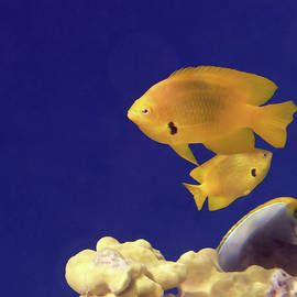 Beautiful Sulfur Damselfish