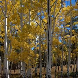 Beautiful Whtiest Base Aspen In Brights They Can Be by Paul - Phyllis Stuart