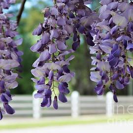 Dee Winslow - Beautiful Wisteria and the White Fence