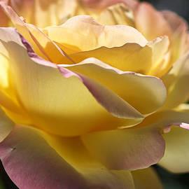 Joy Watson - Beautiful Yellow  Peace Rose