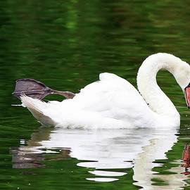 Carol R Montoya - Beauty Of A Swan