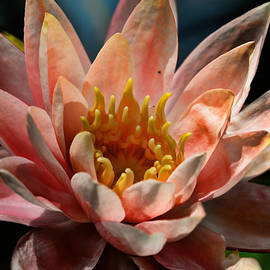 Beckoning The Sun Water Lily by Lesa Fine
