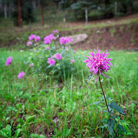 Mary Lee Dereske - Bee Balm in the Mountains
