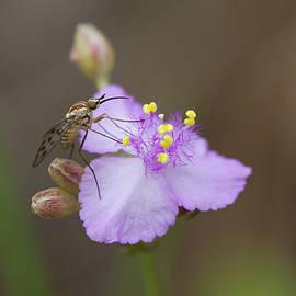 Bee Fly On Roseling by Paul Rebmann
