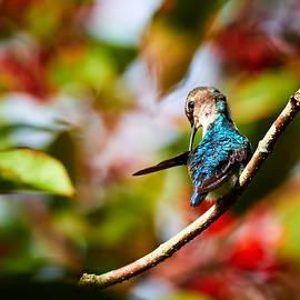 David Beebe - Bee Hummingbird