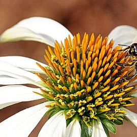 Bee In The Echinacea  by AJ Schibig