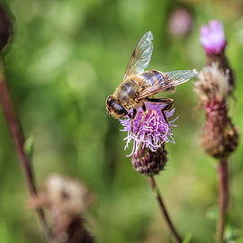Tim Abeln - Bee on a thistle flower