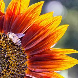 Bee on Flower by Sandi Kroll
