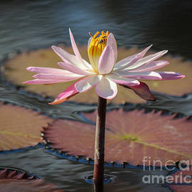 Bee On Waterlily by Liesl Walsh