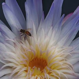 Bee On White Water Lily by Don Columbus