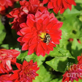 Maria Costello - Bee Pollinating Red Dahlia