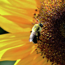Karen Majkrzak - Bee Visits Sunflower
