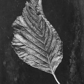 John Edwards - Beech leaf