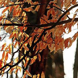 Debbie Oppermann - Beech Leaves In Winter
