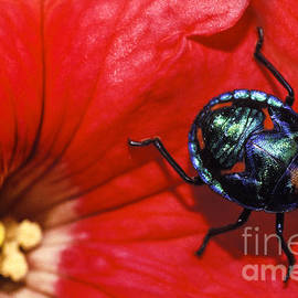 Beetle on a hibiscus flower. by Sean Davey