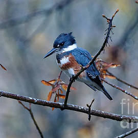 Belted Kingfisher Perch by Sue Harper