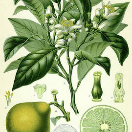 Bergamot  - German School