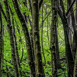 Bergen Forest by KG Thienemann