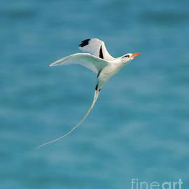 Bermuda Longtail S Curve by Jeff at JSJ Photography
