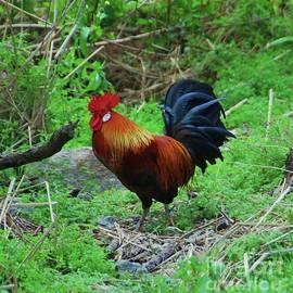 Bermuda Rooster Vision # 1 by Poet's Eye