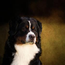 Diana Andersen - Bernese Mountain Dog
