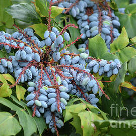 Berries On The Tree by Ruth Housley