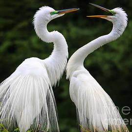Best Egret Mates by Paulette Thomas